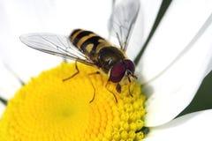 Abelha na flor Imagens de Stock Royalty Free
