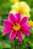 Abelha na flor fotografia de stock