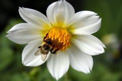Abelha na flor Foto de Stock Royalty Free