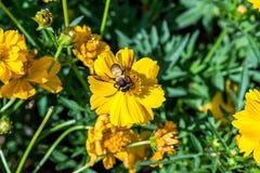 Abelha na flor Fotografia de Stock Royalty Free