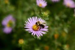 Abelha na flor Fotos de Stock