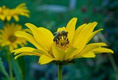 Abelha na flor amarela fotografia de stock royalty free
