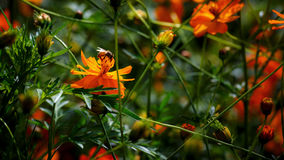Abelha na flor amarela brilhante da cor Foto de Stock Royalty Free