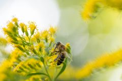 Abelha na flor amarela da solidago dos goldenrods Fotos de Stock