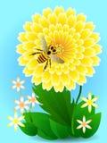 A abelha na flor amarela recolhe o mel e o pólen Imagem de Stock Royalty Free