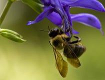 Abelha na flor azul Fotos de Stock Royalty Free