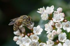 Abelha na flor branca Fotografia de Stock