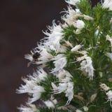 Abelha na flor branca Fotos de Stock