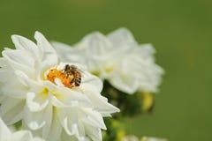 Abelha na flor branca Imagens de Stock Royalty Free
