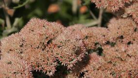 A abelha na flor coleta o néctar video estoque