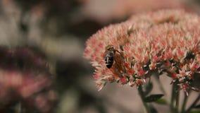 A abelha na flor coleta o néctar vídeos de arquivo