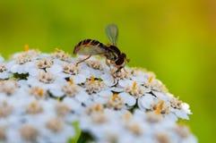 A abelha na flor coleta o néctar foto de stock royalty free