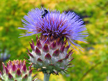 Abelha na flor da alcachofra fotografia de stock royalty free