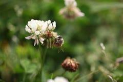 Abelha na flor da grama Imagem de Stock Royalty Free