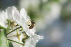 Abelha na flor da maçã fotografia de stock