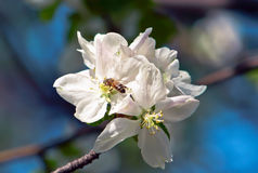 Abelha na flor da maçã Fotos de Stock