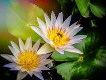 Abelha na flor de lótus fotografia de stock