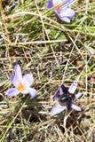 Abelha na flor do autumnale do colchicum no outono Imagens de Stock Royalty Free