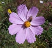 Abelha na flor do cosmos Imagens de Stock Royalty Free