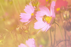 Abelha na flor do cosmos, fundo claro de florescência Fotos de Stock Royalty Free