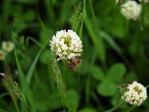 Abelha na flor do trevo Foto de Stock