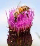 Abelha na flor do trevo Foto de Stock Royalty Free