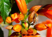 Abelha na flor em botão alaranjada Foto de Stock