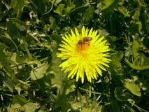 Abelha na flor em poland foto de stock royalty free