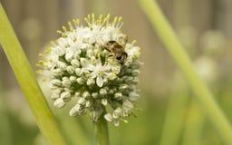 A abelha na flor esmurra Imagem de Stock Royalty Free