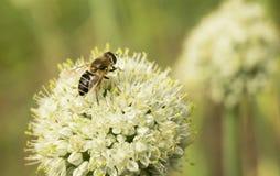 A abelha na flor esmurra Imagem de Stock