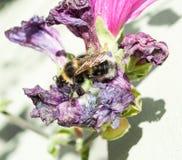 Abelha na flor murchada fotografia de stock royalty free