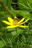 Abelha na flor selvagem amarela que recolhe o pólen fotografia de stock