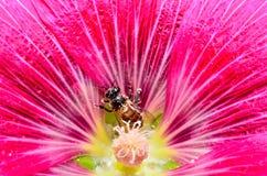 Abelha na flor vermelha Imagens de Stock Royalty Free
