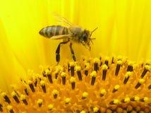 Abelha na inflorescência do girassol. Fotos de Stock