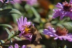 Abelha na natureza na flor imagens de stock
