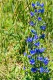 Abelha na planta do blueweed Fotografia de Stock Royalty Free
