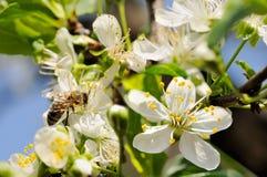 Abelha na primeira flor Fotografia de Stock Royalty Free