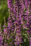 A abelha na urze da planta recolhe o mel fotografia de stock