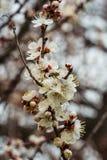 Abelha nas flores da primavera foto de stock royalty free
