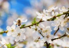 A abelha nas flores de cerejeira brancas floresce o sumário da mola do ramo imagens de stock royalty free