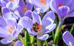 Abelha no açafrão de florescência Fotografia de Stock Royalty Free