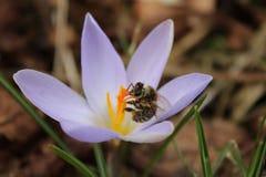 Abelha no açafrão que recolhe o néctar Fotografia de Stock