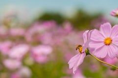 A abelha no cosmos, áster mexicano floresce contra o céu azul Fotos de Stock Royalty Free