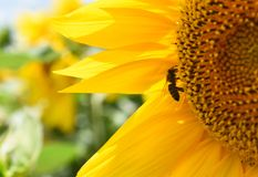 abelha no girassol Fotos de Stock Royalty Free