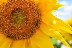 abelha no girassol Foto de Stock