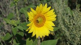 Abelha no girassol amarelo Fotografia de Stock