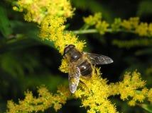 abelha no goldenrod Imagem de Stock Royalty Free
