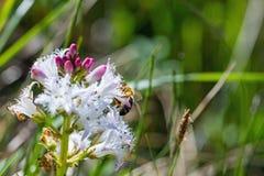 Abelha no Menyanthes Trifoliata, no Pântano-feijão ou na fava-dos-pântanos Foto de Stock Royalty Free