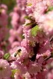 Abelha no rosa Foto de Stock