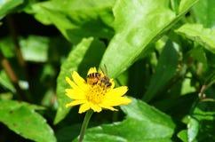 Abelha ocupada no amarelo margarida-como o wildflower em Krabi, Tailândia Fotos de Stock Royalty Free